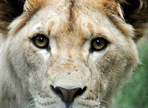 lionlook